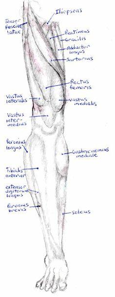leg muscles drawing - photo #46