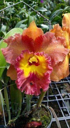 Flowers my Inspiration Unusual Flowers, Amazing Flowers, Beautiful Flowers, Iris Flowers, Flowers Nature, Orchid Plants, Orchids, Orchid Varieties, Calathea Plant