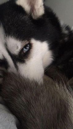 Wonderful All About The Siberian Husky Ideas. Prodigious All About The Siberian Husky Ideas. Sibirsk Husky, Husky Eyes, Cute Husky, Siberian Husky Puppies, Siberian Huskies, Baby Huskies, Husky Wolf Mix, Siberian Husky Facts, Huskies Puppies