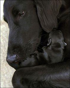Black Lab mix and newborn pup
