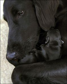 Black Lab mix and newborn pup
