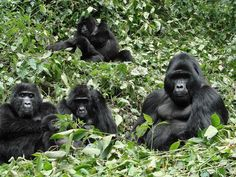 3 Days Gorilla Tracking day hikes to see the gorilla families can be strenuous on tracks climbing through the forest it is a rare and memorable experience .