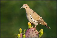 Whitewing Dove: just love 'em