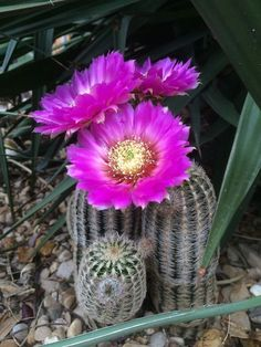 Echinocereus reichenbachii / trio Always great to come home to this - the best blooms of the year. Succulent Gardening, Cacti And Succulents, Planting Succulents, Cactus Plants, Unusual Plants, Exotic Plants, Cactus Pictures, Beautiful Flowers Wallpapers, Desert Plants