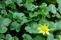 Das Scharbockskraut sprießt früh und sollte noch vor der Blüte gesammelt und genutzt werden. Genieße es aber bedacht und in Maßen!: