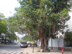 Vietnamese named : Sanh  English names : Fig, Weeping fig, Benjamin 's fig, Weeping Chinese Banyan  Scientist name : Ficus benjamina L.  Synonyms :   Family : Moraceae . Họ Dâu Tằm    Searched from :    **** Y HỌC CỔ TRUYỀN TUỆ TĨNH  www.lrc-tnu.edu.vn/dongy/ http://phongthuyvadoisong.com/  http://phongthuyvadoisong.com/448/San-Pham/kim-cuong-diamond.htm