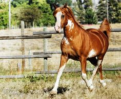 FV Aulfarwa (Aulrab x FV Painted Lady) 1996 chestnut sabino stallion bred by Fairview Arabian Stud, Canada