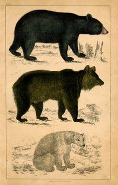 bear trio antique 1853 print original engraving brown black and polar bears