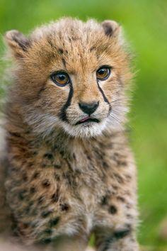 Cheetah cub portrait | One more portrait of a cutie!!! by Tambako the Jaguar