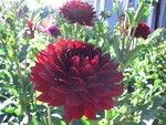 black widow dahlia-this is a prolific bloomer in my garden. Definitely want it in our floral arrangements!