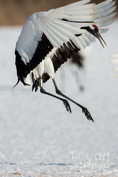A red-crowned crane jumps as part of its dance with its partner. These crane are a symbol of Japan and are endangered. This flock is Hokkaido Japan, roosting in a hot spring fed stream at night and feeding during the day.