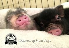 They make me sleepy Charming Mini Pigs