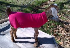 No-Sew Goat Sweaters made with Sweat Pants from oakhillhomestead.  /snowshoeacres says: Sweat Shirt Sleeves can be used to make smaller no-sew sweaters for newborn Nigerian Dwarfs and other mini goats born during cold winter weather