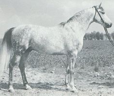 ELEUZIS (Aquinor x Ellenai, by Wielki Szlem) 1962-1997 grey stallion bred by Janow Podlaski; imported to the US 1971 by Award Arabians. Sired 151 registered purebreds in the US.