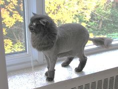 Image of a lion cut on a cat..