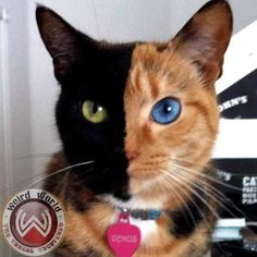 """Here Kitty Kitty! Venus is world's only two faced cat :  Meet Venus, the chimera cat taking the internet by storm. Recently dubbed the 'coolest cat on the internet' by Reddit users. """"Chimera cat is one individual organism, but genetically its own fraternal twin. A chimera is typically formed from four parent cells (either two fertilized eggs, or two early embryos that have fused together)."""