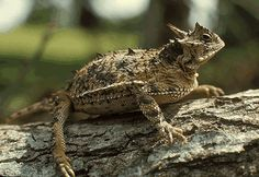 Horny Toad... aka horned frog. Growing up in Fort Worth we used to find them in the field and play with them. Or at least my brothers would. I was afraid it would spit blood in my eyes!