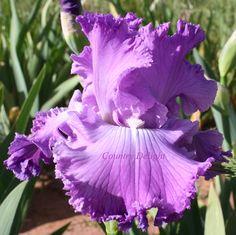 TB Iris germanica 'New Renaissance' (Schreiner, 2001)