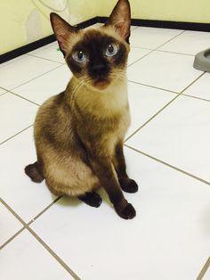 Linda gatinha... Super Dócil. Castrada,Vacina e vermifugada. Disponível a adoção. Manaus-Am 98409-1411