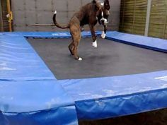 The Trampoline Dog - YouTube....the link is a better boxer than the picture! I love fawn boxers!