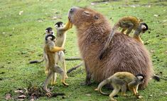A capybara and his squirrel monkey buddies.