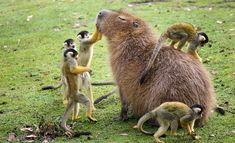A capybara and his squirrel monkey buddies.