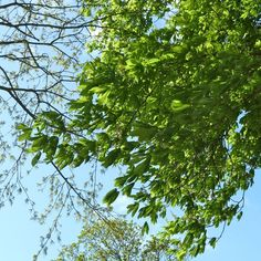 5 May 2015: Chestnut leaves dancing in the breeze. A gloriously exhilarating day.
