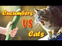 BEST FUNNY CATS IN COUB ПРИКОЛЬНЫЕ КОШКИ FUNNY ANIMALS #18 -  #animals #animal #pet #cat #cats #cute #pets #animales #tagsforlikes #catlover #funnycats Cats are the funniest animals on Earth, they make us laugh all the time! Just look how all these cats & kittens play, fail, get along with dogs, make funny sounds, get angry, sleep, … So... - #Cats