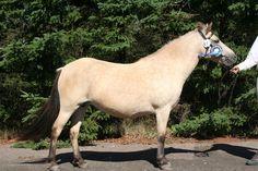 Gotland Pony - mare Dansös (Juping - Dans - Helios) | Gotlandsruss iFokus