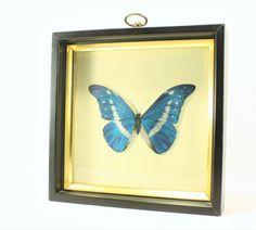 Vintage Framed  Morpho Rhetenor Helena Butterfly Art, Insect Art, Framed Art, Morpho Blue Butterfly Art, Morpho Anaxibia - pinned by pin4etsy.com
