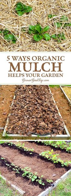 Organic Gardening Mulch is any type of material that layered on the surface of the soil. Mulching your garden beds not only helps suppress weeds, it also prevents soil erosion and moderates soil-temperature fluctuations. Organic Mulch, Grow Organic, Organic Gardening Tips, Vegetable Gardening, Organic Compost, Kitchen Gardening, Veggie Gardens, Urban Gardening, Organic Farming