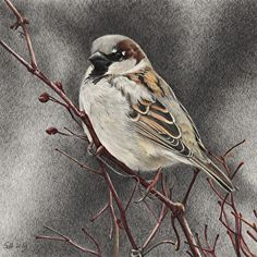 "House Sparrow with Rose Hips by Sue deLearie Adair Colored and Graphite Pencils ~ 5.75"" x 5.75"""