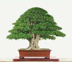 Murraya paniculata by Mu-Lai Hung Murraya Paniculata, Indoor Bonsai, Ficus, Love Photos, The Creator, Herbs, Plants, Bonsai Art, Garden Ideas