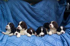 English Springer Spaniel Rescue | English Springer Spaniel Dogs For Adoption