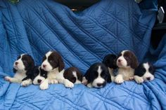 English Springer Spaniel Rescue   English Springer Spaniel Dogs For Adoption