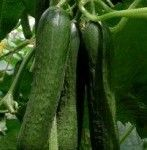 Mini cucumber Jawell is one of our most popular varieties with an average fruit length 14 - 16 cm - inches). Also called Beit alpha cucumber, Persian cucumber or Lebanese cucumber, these types have become very popular over the last few years. Mini Cucumbers, Persian Cucumber, Cucumber Seeds, Powdery Mildew, Fruit, Seed Starting, Shelf Life, Propagation, Plant