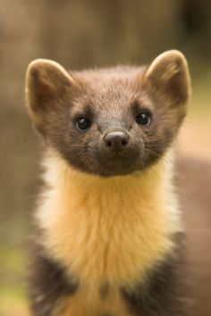 Pine Marten: look at its face!
