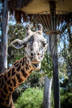 Giraffe Photo Fine Art Photography Animal by PatrickRabbatPhotos  #integritytt #etasyspecialT  #TintegrityT