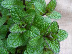 5 Bonnes raisons de cultiver de la menthe chez vous !