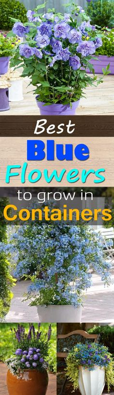 Best Blue Flowers to Grow in Containers | Balcony Garden Web