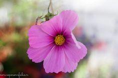 Summer's Last Flower, Thomas, Tucker County, West Virginia | by Singing Like Cicadas