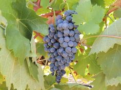 Xinomavro key to unlocking Greek potential? #wine #winetasting #wineeduation #Greece #grapes