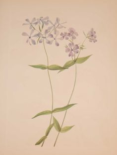 Vintage botanical print from 1925 by Mary Vaux Walcott titled Blue Phlox. Walcott did the drawings for these prints whilst traveling across North America and they where subsequently produced in 1925 as prints by the Smithsonian in a work on North American Wildflowers. This is a 1925 print and not a later release, these where done in a limited quantity of 500. Vintage Botanical Prints, See Picture, Wildflowers, Prints For Sale, Printing Process, North America, Traveling, Mary, American