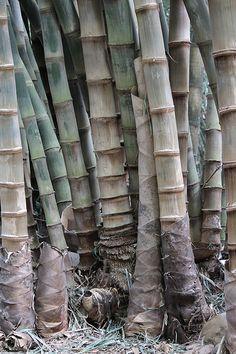 Clump in Brisbane's botanic gardens. Giant Bamboo, Bamboo Species, Bamboo Poles, Green Environment, Lucky Bamboo, Bamboo Garden, Types Of Soil, Shades Of Green, Botanical Gardens