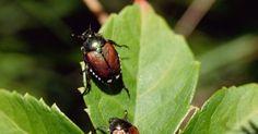 Como repelir besouros naturalmente de sua casa
