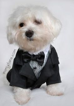 Make an elegant dog tuxedo jacket with this premium sewing patterns. Combine with the free tuxedo vest pattern to get the complete tuxedo suit! Dog Tuxedo, Tuxedo Jacket, Dog Jacket, Cute Little Puppies, Cute Baby Cats, Small Dog Clothes, Pet Clothes, Animal Clothes, Dog Wedding Dress