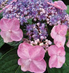 'Lace Cap' Endless Summer Hydrangea
