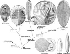 Anatomical Information Content in the Ediacaran Fossils and Their Possible Zoological Affinities. READ