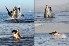 Great White Shark Trips with TOP company African Shark Eco-Charters Great White Shark, Sharks, Trips, African, Study, Live, Animals, Viajes, Studio