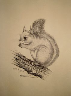 Vintage Ink Sketch Drawing of a Squirrel Signed N F Shenton